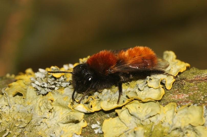 vosje Andrena fulva 090405.jpg