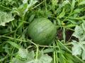 gr.watermeloen.JPG